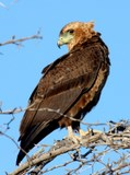 immature%20bateleur%20eagle.jpg