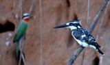 pied%20kingfisher%20with%20white-fronted%20bee-eater.jpg