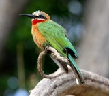 white-fronted%20bee-eater.jpg